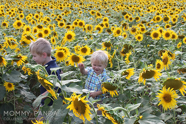 mommy-panda-blog-manhattan-ks-sunflowers4