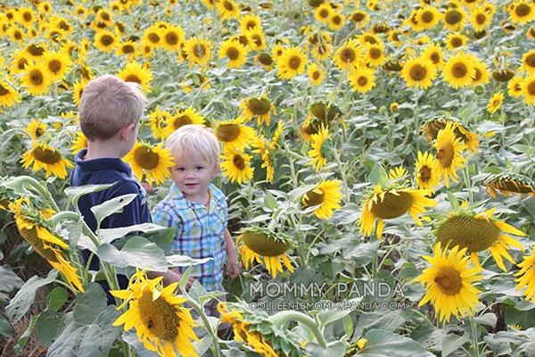 mommy-panda-blog-manhattan-ks-sunflowers5