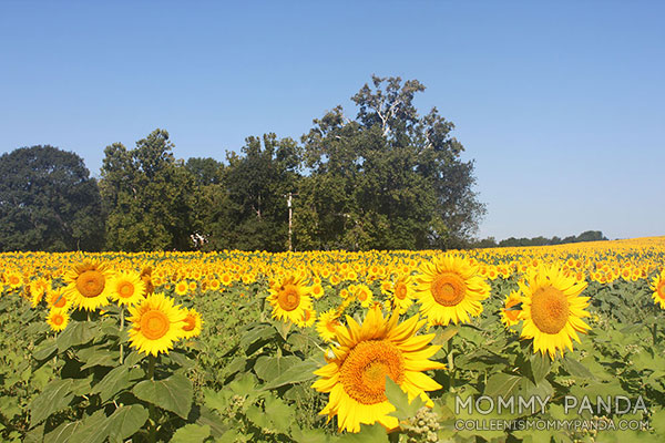 mommy-panda-blog-babywearing-sunflowers1